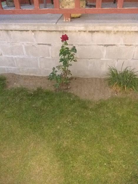 rose bush.jpg